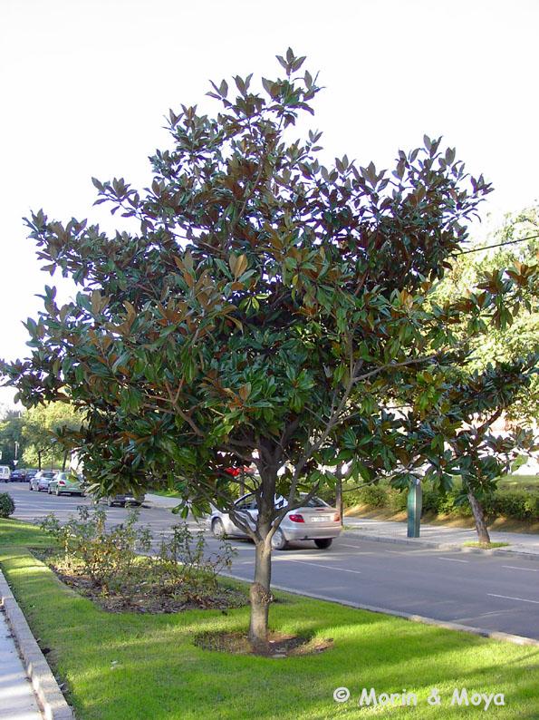 magnolio1137a.jpg (187070 bytes)