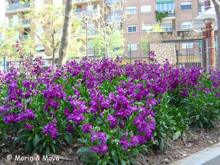 http://www.uhu.es/51038/images/fotos/herbaceas/alheli/227alheli.jpg