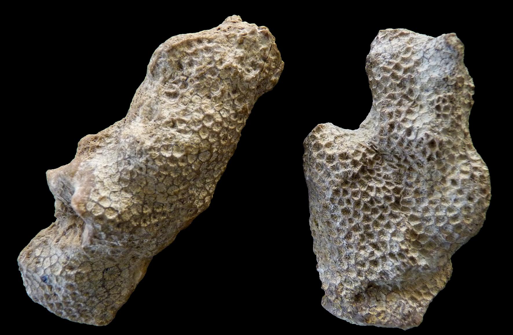 Resultado de imagen de cnidarios fosil